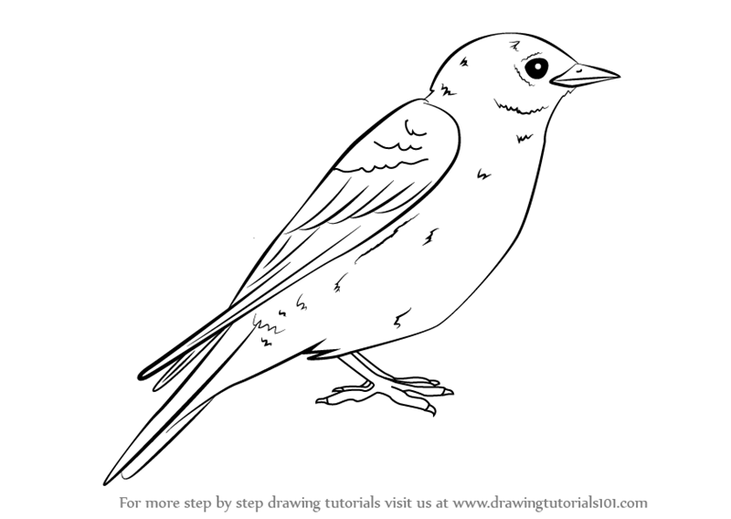 Learn How to Draw an Eastern Bluebird (Birds) Step by Step