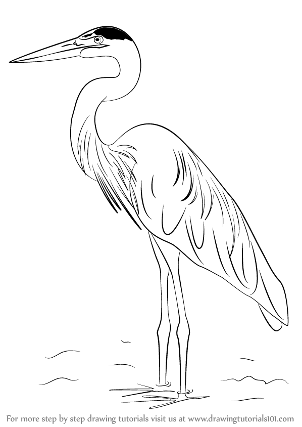 Learn How to Draw a Great Blue Heron (Birds) Step by Step
