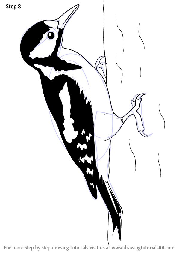 Learn How to Draw a Great Spotted Woodpecker (Birds) Step