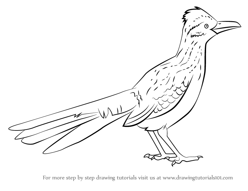 Learn How to Draw a Greater Roadrunner (Birds) Step by