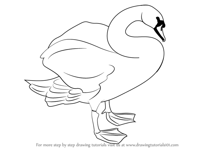 Learn How to Draw a Mute Swan (Birds) Step by Step