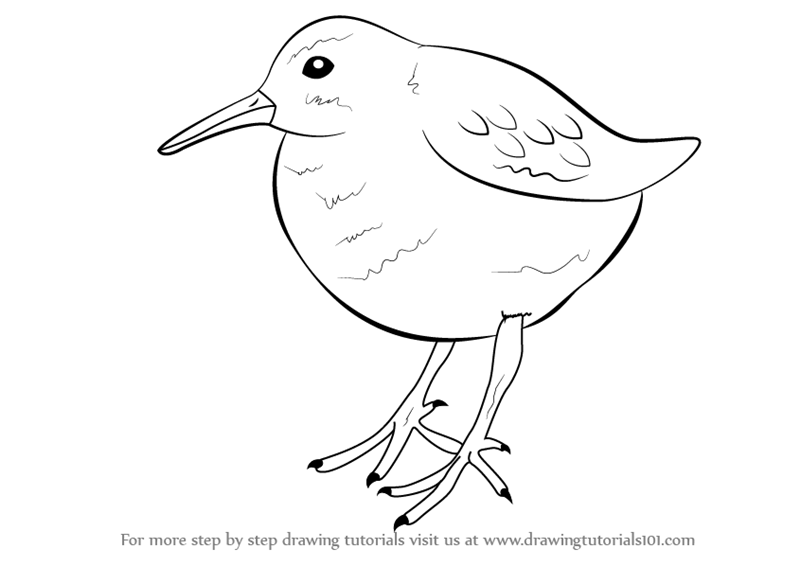 Step by Step How to Draw Pectoral Sandpiper