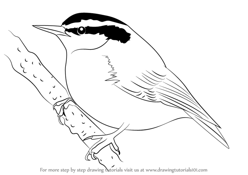 Learn How to Draw a Red-Breasted Nuthatch (Birds) Step by
