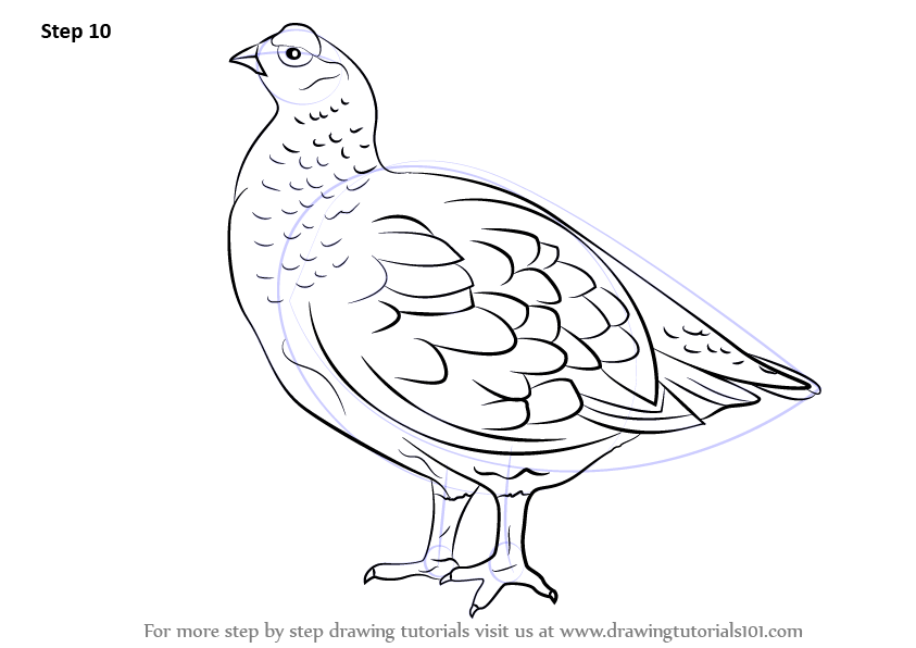 Learn How to Draw a Red Grouse (Birds) Step by Step