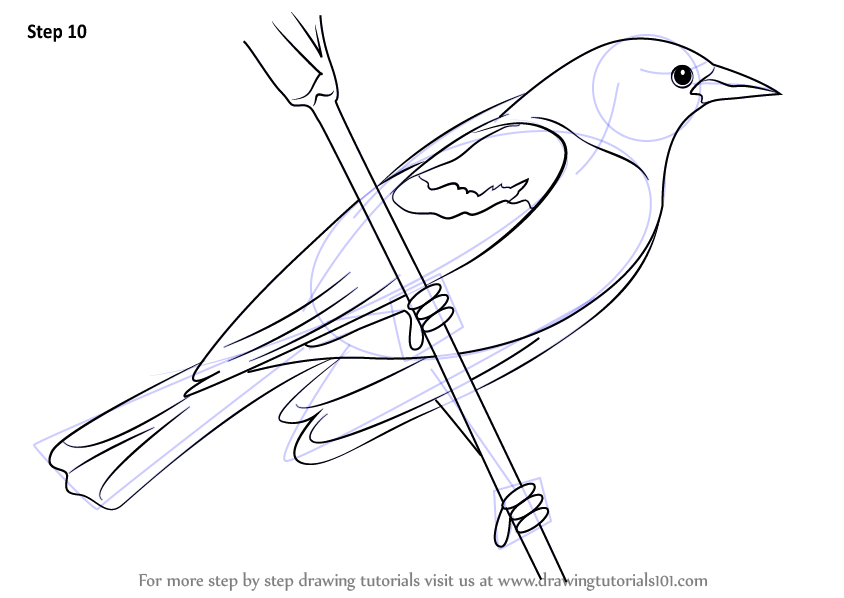 Learn How to Draw a Red-Winged Blackbird (Birds) Step by