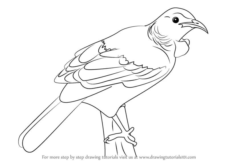 Learn How to Draw a Tui Bird (Birds) Step by Step