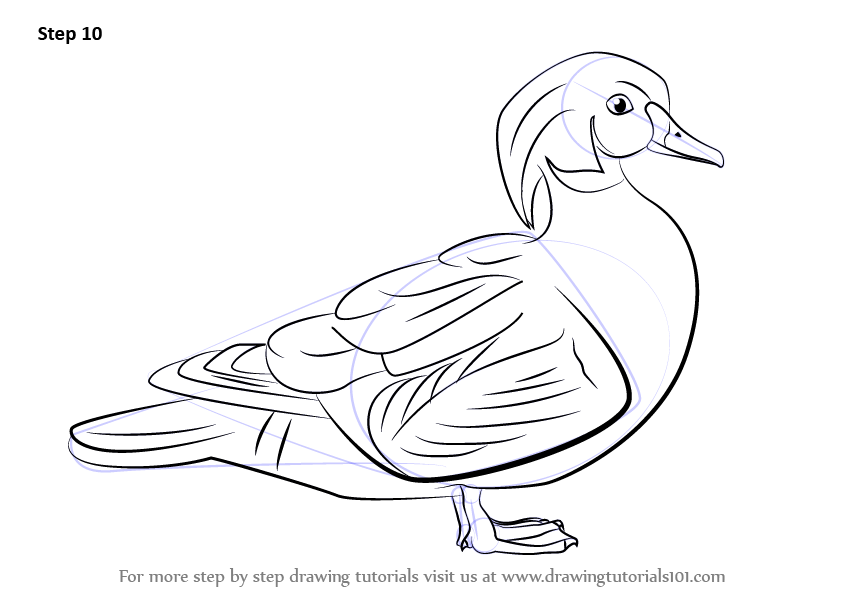 Learn How to Draw a Wood Duck (Birds) Step by Step