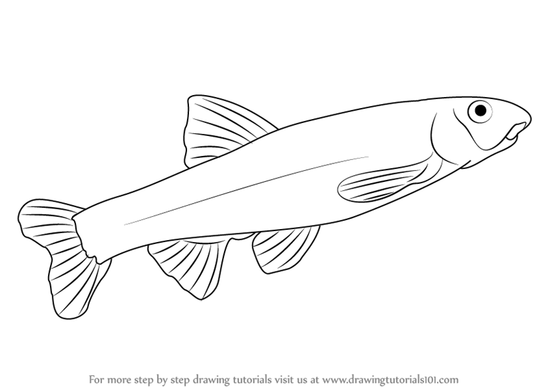 Learn How to Draw a Dace (Fishes) Step by Step : Drawing