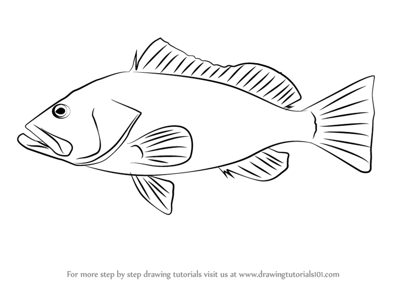 Step by Step How to Draw a Red Grouper
