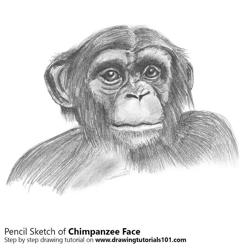 chimpanzee face pencil drawing