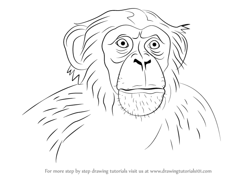 Learn How To Draw Chimpanzee Face Other Animals Step By Step Drawing Tutorials