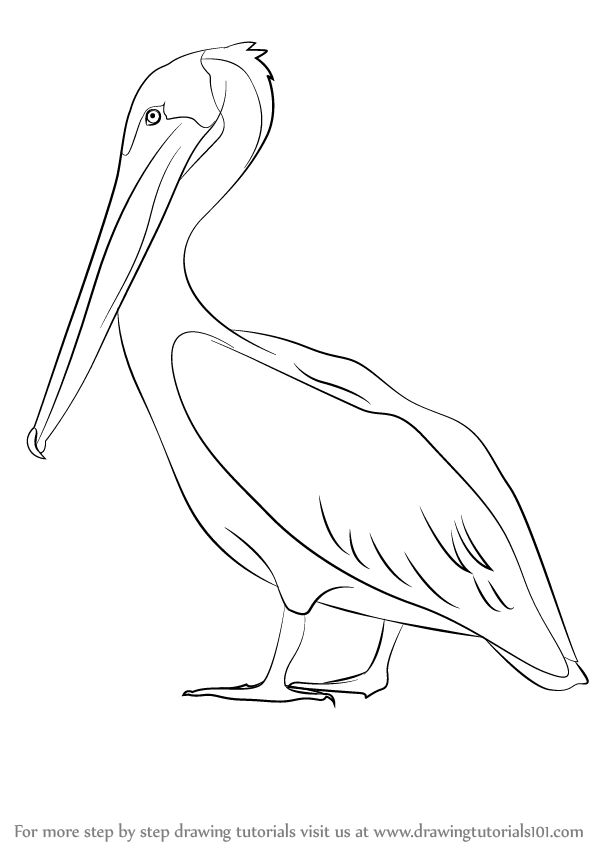 Learn How to Draw a Brown Pelican (Sea Water Animals) Step