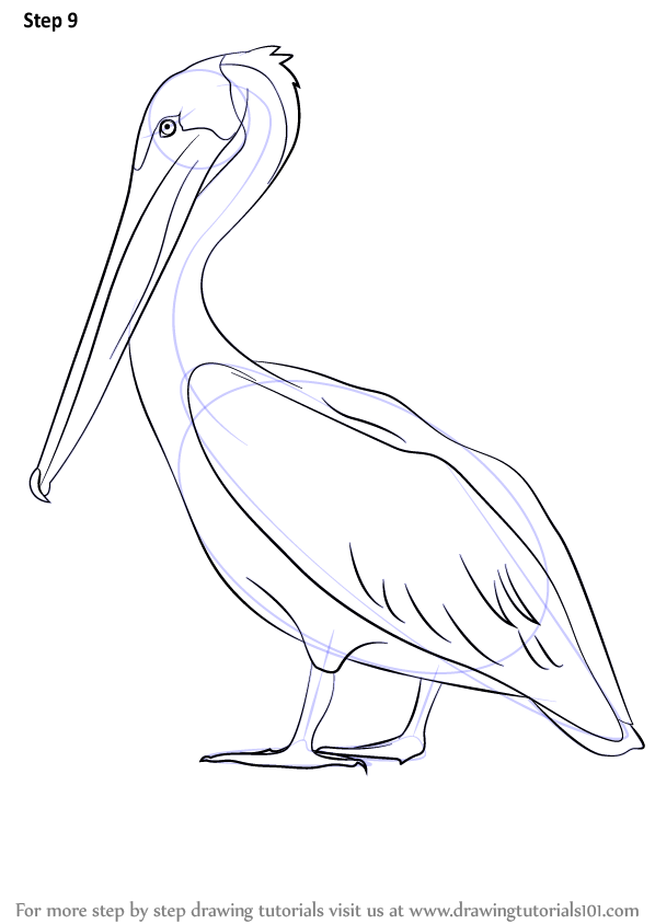 Step by Step How to Draw a Brown Pelican