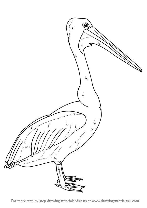 Learn How to Draw an Australian Pelican (Seabirds) Step by