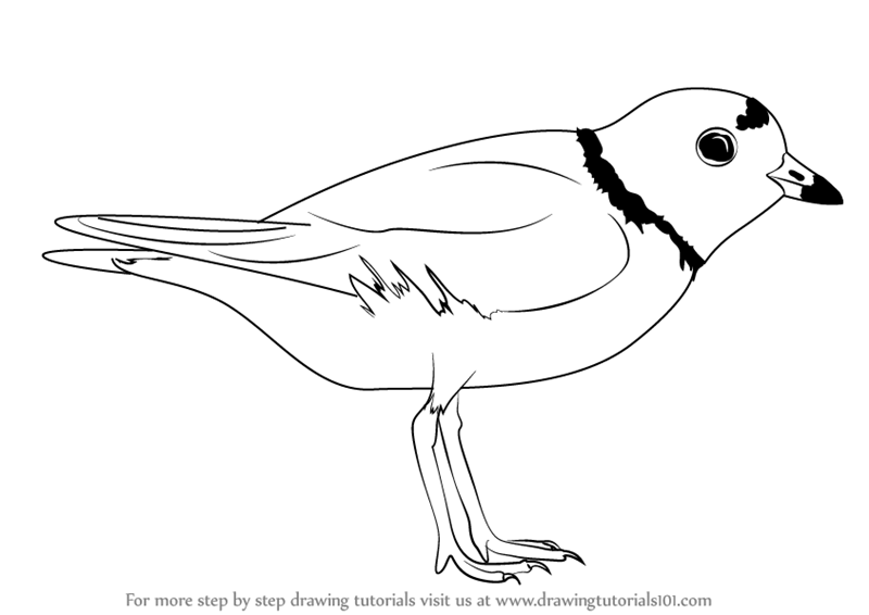Learn How to Draw a Piping Plover (Shorebirds) Step by