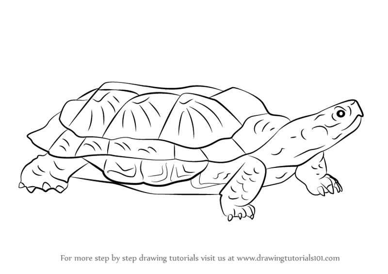 Step by Step How to Draw a Wood Turtle