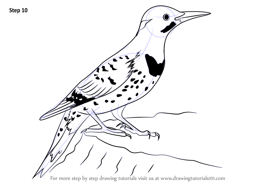 Learn How to Draw a Northern Flicker (Woodpeckers) Step by