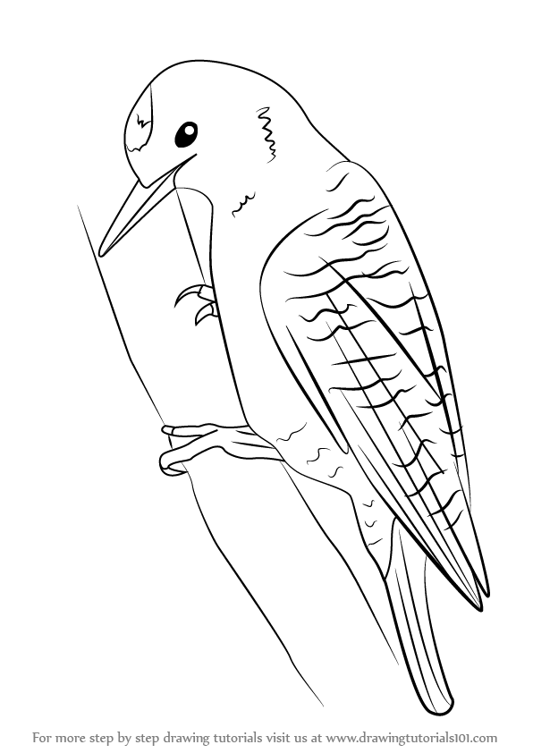 Learn How to Draw a Woodpecker (Woodpeckers) Step by Step