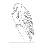 Learn How to Draw a Pileated Woodpecker (Woodpeckers) Step