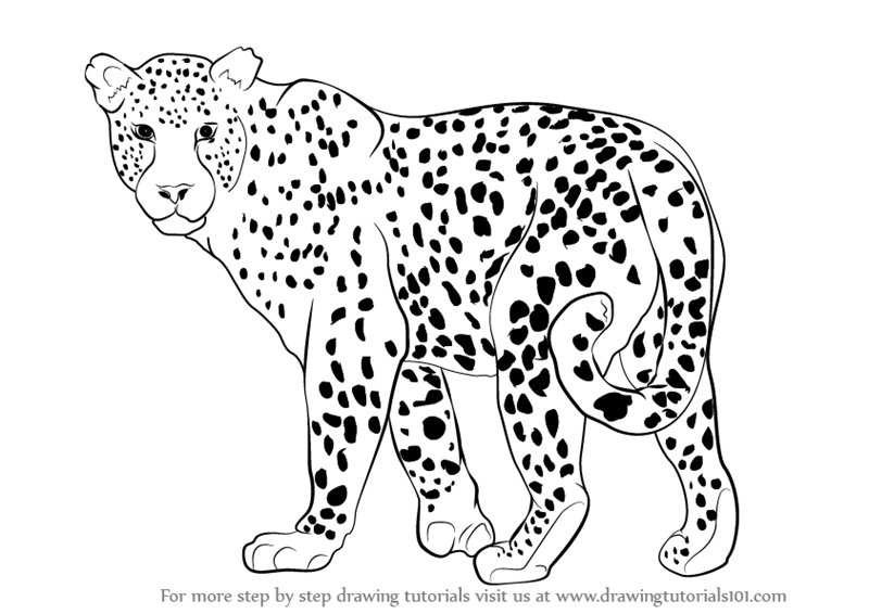 Step by Step How to Draw a Leopard : DrawingTutorials101.com