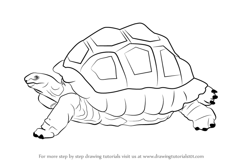 Learn How to Draw a Tortoise (Zoo Animals) Step by Step