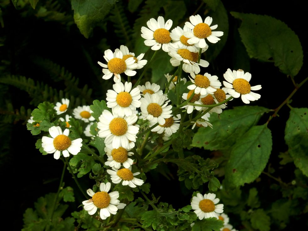 Daisies research photo