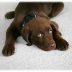 Pet stain removal service in Plano