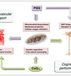 providing 24 hour sustained release microactive coq10 with biopqq supports mitochondrial cognitive and cardiovascular health [ 1123 x 711 Pixel ]