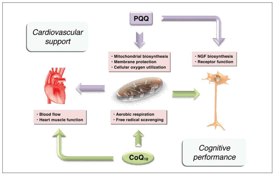 hight resolution of providing 24 hour sustained release microactive coq10 with biopqq supports mitochondrial cognitive and cardiovascular health