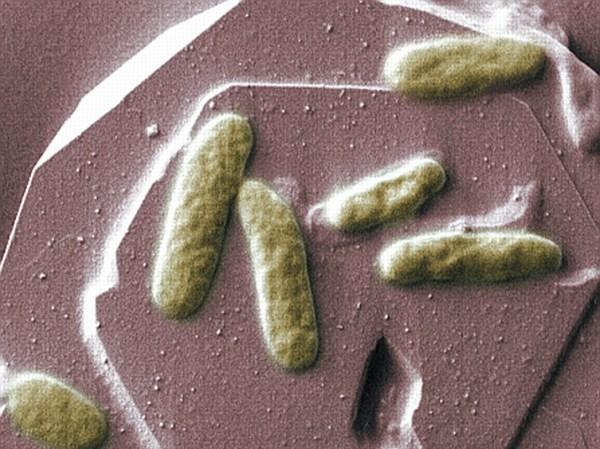 shewanella oneidensis  MR-1