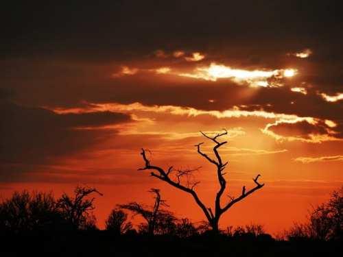 Tree in Kenya in the sunset