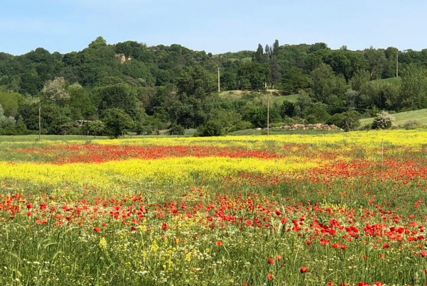 14 Poppy field next to Il Palazzo in Spring