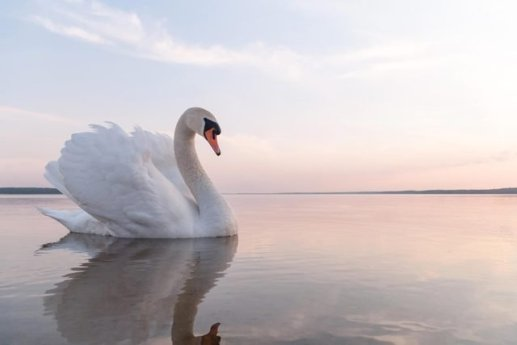 swan dream meaning, it suggest peaceful life, lottery wins, lotto649 and usa megamillions,Lottery and casino win dreams, this dream indicates that you will win a lottery