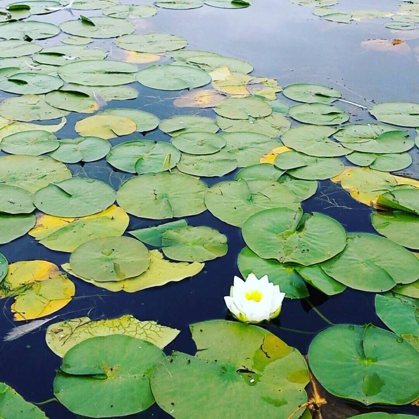 A picture of lily pads in Seattle that Morgan took after returning to the United States