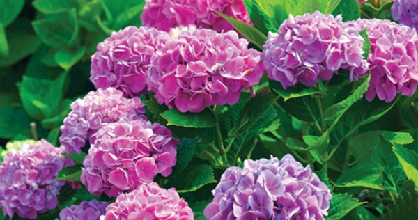 5 flowering shrubs buffalo