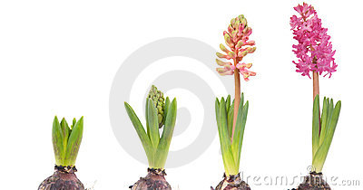Growing pink Hyacinth