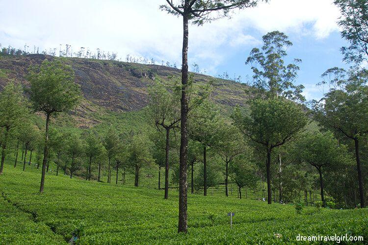 India_Munnar01_tea-plantations
