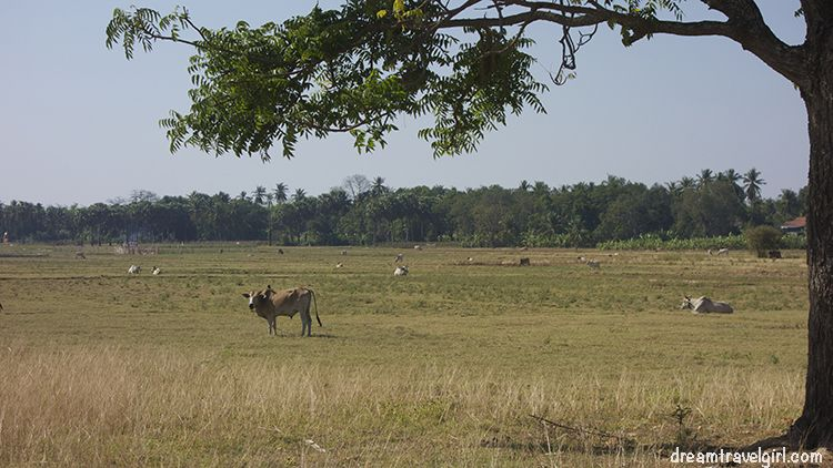 Cambodia_Kratie_Koh-Trong_cow-fields