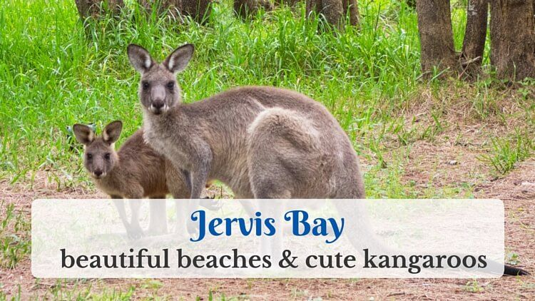 Jervis Bay: beautiful beaches and cute kangaroos