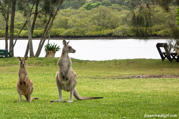 Australia_Jervis-Bay_ kangaroos02