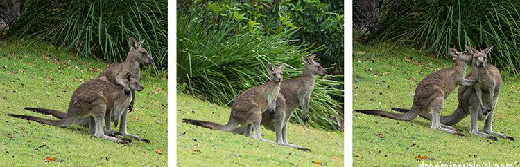 Australia_Jervis-Bay_ kangaroos06