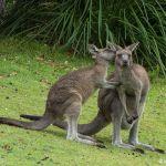 Kangaroos in Jervis Bay, Australia