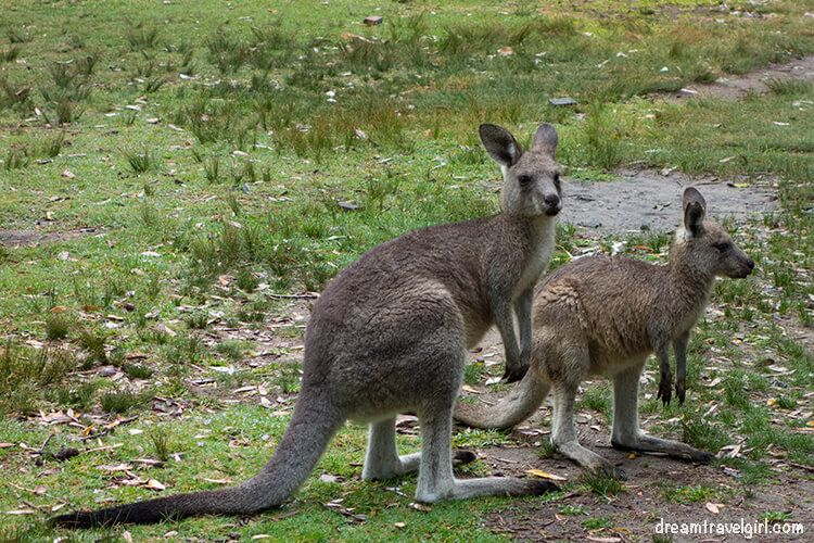 Australia_Jervis-bay_kangaroos01