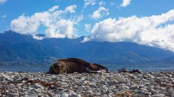 Kaikoura: sleepy seals and a funny truck driver
