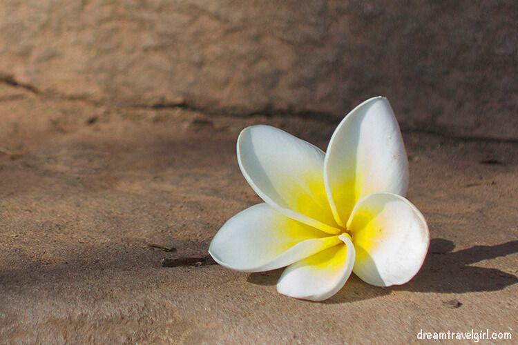 White flower in Champasak, Laos