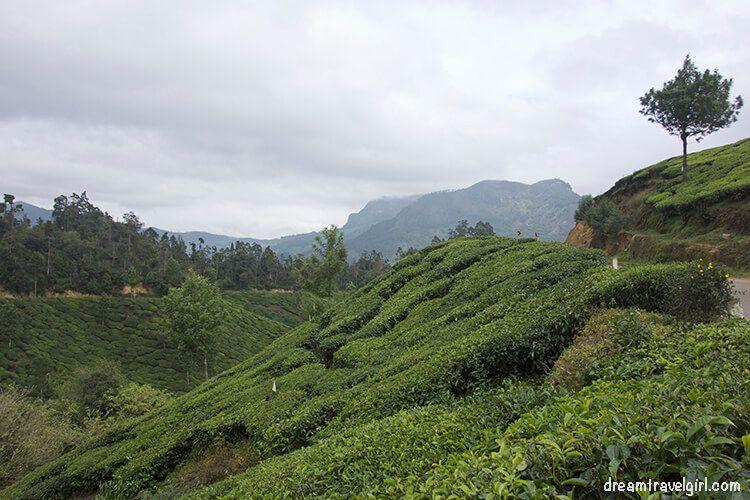 India_Munnar08_plantations
