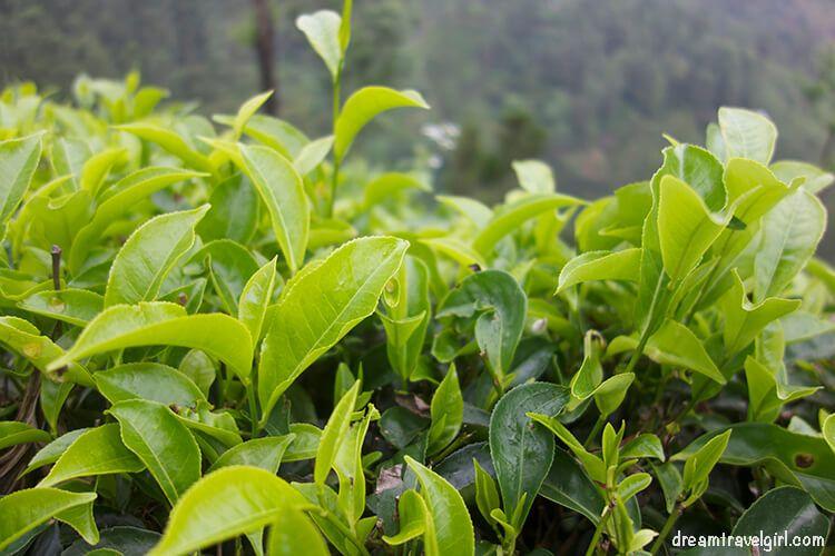 India_Munnar13_tea-plants