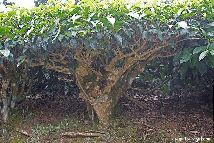 India_Munnar14_tea-plant