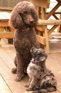 Daisy and Mattie - F1 Aussiedoodle and her Standard Poodle Mom
