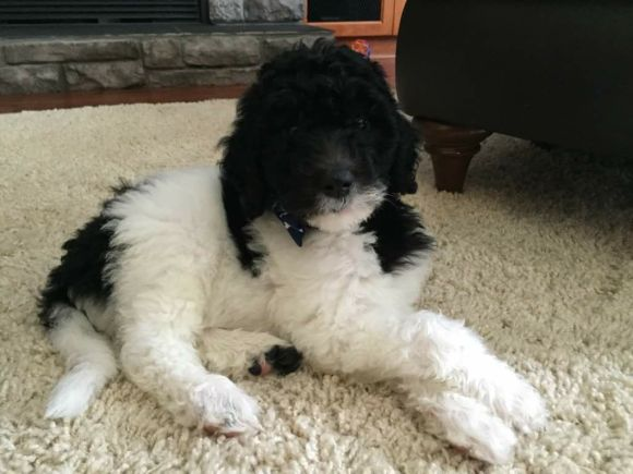 Black and White Parti Multigen Labradoodle from Pele and Hershey - Dreamydoodle Northwest